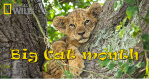 Nat Geo's Big Cat Month